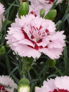 Add that classic touch of pink to your yard with Dianthus perennials from Bluestone Perennials. Shop our wide selection of Dianthus flowers today. Dianthus Perennial, Dianthus Flowers, Flowers Perennials, Planting Flowers, Flower Plants, Amazing Flowers, My Flower, Flowers In Hair, Beautiful Flowers