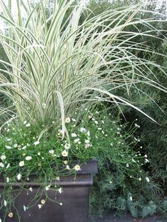 """miscanthus dixieland surrounded by Erigeron """"Profusion"""", great in a planter."""
