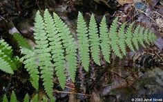 lady fern - Google Search