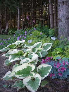 Variegated brunnera with Dicentra Burning Hearts, ladys mantle, Geranium Rozanne, Astilbe Purple Candles