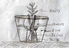 semente de abacate brotada