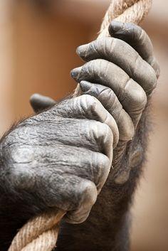 Otra de las características son el cambio de los dedos de las manos, el dedo pulgar se hace mas largo lo cual nos permite tener   mayor manipulación.