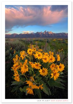 Morning storm over the Grand Tetons and a patch of balsam root.