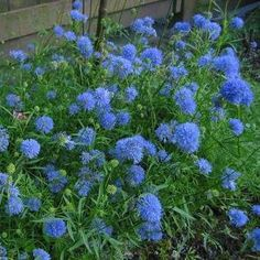 Gilia capitata, also called Blue Thimble Flower. Attracts butterflies and hummingbirds. Seeds from Etsy.com.