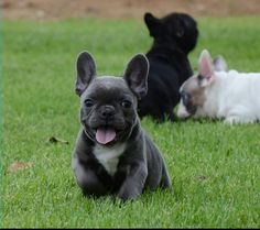 Love Frenchies