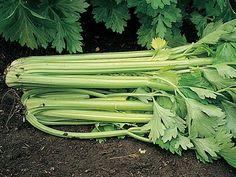 Información y consejos para el cultivo del apio (Apium graveolens)