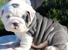 My Dream PUP!!! Only pup that stays cute even though he is all grown up. English Bulldog <3