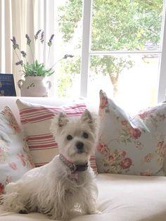 West Highland White Terrier Puppy                              …