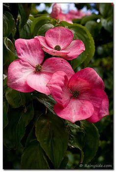 Cornus kousa 'Miss Satomi' considered one of the best of pink flowering dogwoods.