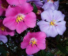Flor de Sietecueros / Flowers of Tibouchina lepidota - Flickr - Photo Sharing!