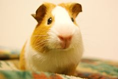 Guinea Pig - cute