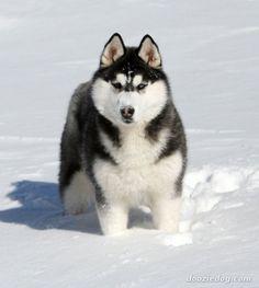 Siberian Husky Fan Site