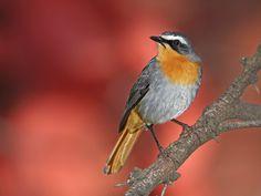 what would a group of garden bird photos be without my favourite garden bird the Cape Robin-chat? Eagle Bird, Bald Eagle, Colorful Bird Tattoos, Bird Theme Parties, South African Birds, Pet Bird Cage, Robin Bird, Bird Artwork, Bird Crafts