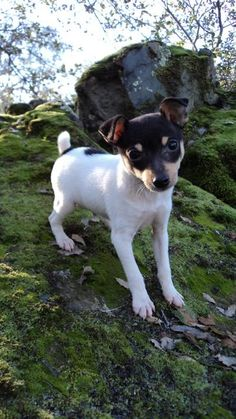 Owning A Toy Fox Terrier