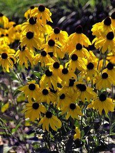 Rudbeckia Sundance, out in the meadow by native Aralia