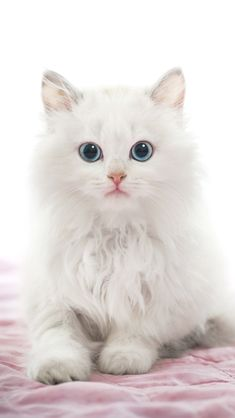 Photo Beautiful Young White Cat with Blue Eyes on Pink Blanket Stock Photo - Young White Cat with Blue Eyes on Pink Blanket Stock Photo - 36322044 Baby Animals Super Cute, Cute Animals, White Kittens, Cats And Kittens, I Love Cats, Cool Cats, Beautiful Cats, Animals Beautiful, Cat App