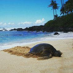 Baby sea turtle turtle love pinterest water waves sea turtle publicscrutiny Image collections