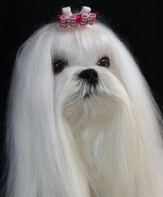 A beautiful show maltese in full coat. Bows by www.doggybow.com