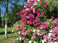 This video consists of amazing and rare Petunia Flower plant pictures. ******************************************************************** Audio Courtesy: B. Beautiful Park, Most Beautiful, Beautiful Scenery, Petunia Flower, Plant Pictures, Visit Japan, Romantic Flowers, Furniture Arrangement, Petunias
