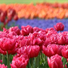 It's hard to believe that 60 years ago the world-famous Keukenhof Gardens in Lisse, Holland, was a hunting preserve. Today, it hosts a sprin...