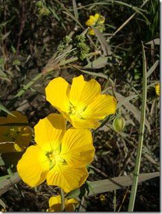 Ludwigia bonariensis