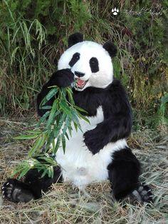 panda bear replica/fake taxidermy Taxidermy, Panda Bear, Flowers, Animales, Panda, Royal Icing Flowers, Pandas, Flower, Florals