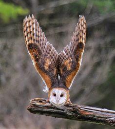 Owl Owl Photos, Owl Pictures, Animals Photos, Exotic Birds, Colorful Birds, Beautiful Owl, Animals Beautiful, Owl Bird, Pet Birds
