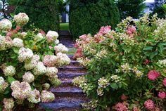Nature Photography  Hydrangea Walkway  Landscape by PetitePastiche, $30.00