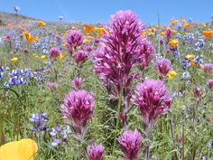 North Table Mountain (photo courtesy of Joe Silveira)  Wildflowers - Mountains to Desert - Google Search