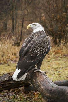 """Eagle.   (""""Foto."""")"""