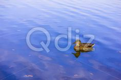 Qdiz Stock Photos Duck on Blue Lake,  #background #beak #beauty #bird #birdwatching #blue #brown #duck #feather #floating #head #lake #mallard #nature #outdoor #outside #pond #reflection #River #swimming #water #waterfowl #wild #wildlife
