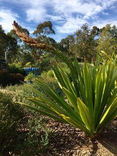 Spear Lily - Doryanthes palmeri - Royal Botanical Gardens, Cranbourne, Australia