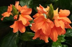 Flowers, How to Grow and Care for Firecracker Flower Plants - Garden Helper, Gardening Questions and Answers Orange Flowers, Love Flowers, Colorful Flowers, Beautiful Flowers, Conservatory Plants, Garden Plants, Exotic Plants, Tropical Plants, Seed Dispersal