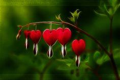 bleeding hearts flower pic - Google Search