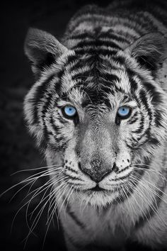 Looove this back ground :D #whitebengaltiger