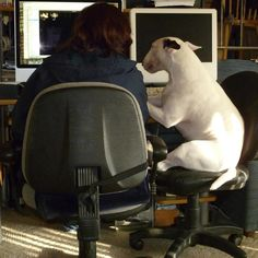 "It's ""Take your Bull Terrier to Work Day."" Just wanting to help! Mini Bull Terriers, English Bull Terriers, Bull Terrier Dog, Terrier Breeds, Dog Breeds, I Love Dogs, Cute Dogs, Dogs Of The World, Funny Facts"