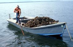 Harvesting oysters.