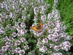 Photo: Great to see some butterflies enjoying the flowering thyme at a local primary school this weekend! Via Herb Society facebook.