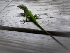 Lizards of Austin Photography by Nick Laborde