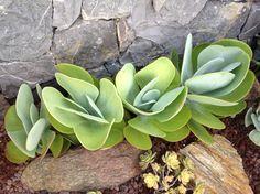 Kalanchoe Thyrsifolias in our garden