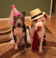 bullysmiles:  Two Pit Bulls in Costume by http://petsadviser.com...#pitbulls #dog breeds #canine pet #dogs #pitbull puppy #pitbull dog #pitbull breeds #red nose pitbull #pitbull terrier #apbt #staffordshire terrier #amstaff #english terrier #black pitbull #moo moo pit #chocolate pitbull #pitbull poodle #blue nosed pit #pitbull mutt #mans best friend #4 month old pitbull