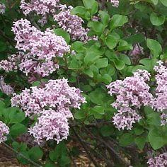 Siebenthaler's - Dayton's Finest Landscaping - Plant Finder ...