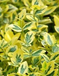 Trzmielina (Euonymus), gatunki, odmiany, zasady uprawy