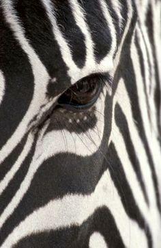 Safari ~ magnificent zebra #Luxurydotcom✖️More Pins Like This One At FOSTERGINGER @ Pinterest✖️