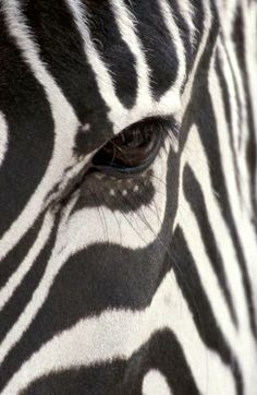 Safari ~ magnificent zebra #Luxurydotcom