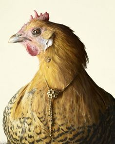 chicken models showing jewelry. creative and funny thinking.