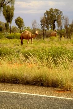 Australian camels | Flickr - Photo Sharing!
