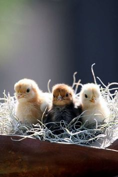 Baby chicks - Cute animal pictures: 100 of the cutest animals!