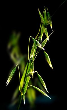 Avena Sativa is one of many plants used for natural male enhancement!
