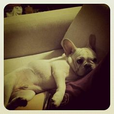 """""""Give me one good reason to move, and I will"""", stubborn, but adorable French Bulldog."""